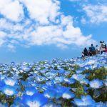 空と一体化!GWは瑠璃色じゅうたんの地へ♡【日本一のネモフィラ畑】のサムネイル画像
