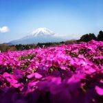 お花見できなかった人必見!【富士芝桜まつり】はこれからが本番♡のサムネイル画像